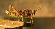 24th Aug 2019 - Eastern Lubber Grasshopper, Contemplating It's Next Move!