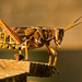 Eastern Lubber Grasshopper, Contemplating It's Next Move! by rickster549