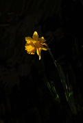 25th Aug 2019 - Daffodil in early morning light