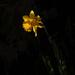 Daffodil in early morning light