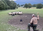 23rd Aug 2019 - The shepherd and his dogs