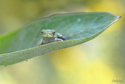 25th Aug 2019 - Eastern Gray Tree Frog