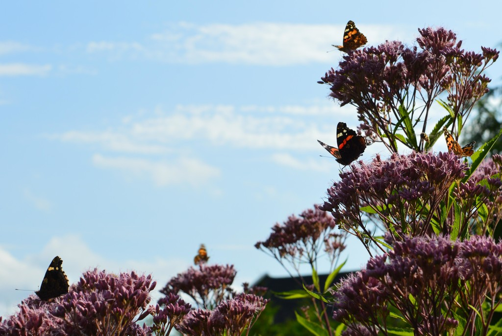 Butterfly invasion by didi