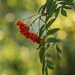 mountain ash berries  by shepherdmanswife