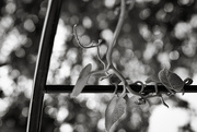 25th Aug 2019 - Tendrils... and bokeh!