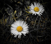 25th Aug 2019 - Daisy Daisy
