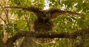 25th Aug 2019 - Great Horned Owl Going Beserk!