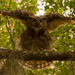 Great Horned Owl Going Beserk!