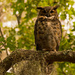 Yeah, It's Another Great Horned Owl!