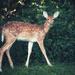 Bambi's Crazy Cousin