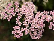 22nd Jun 2019 - Yarrow flowers [Filler]