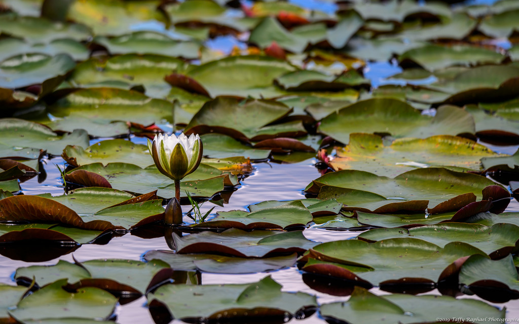 Lone Lily Flower by taffy
