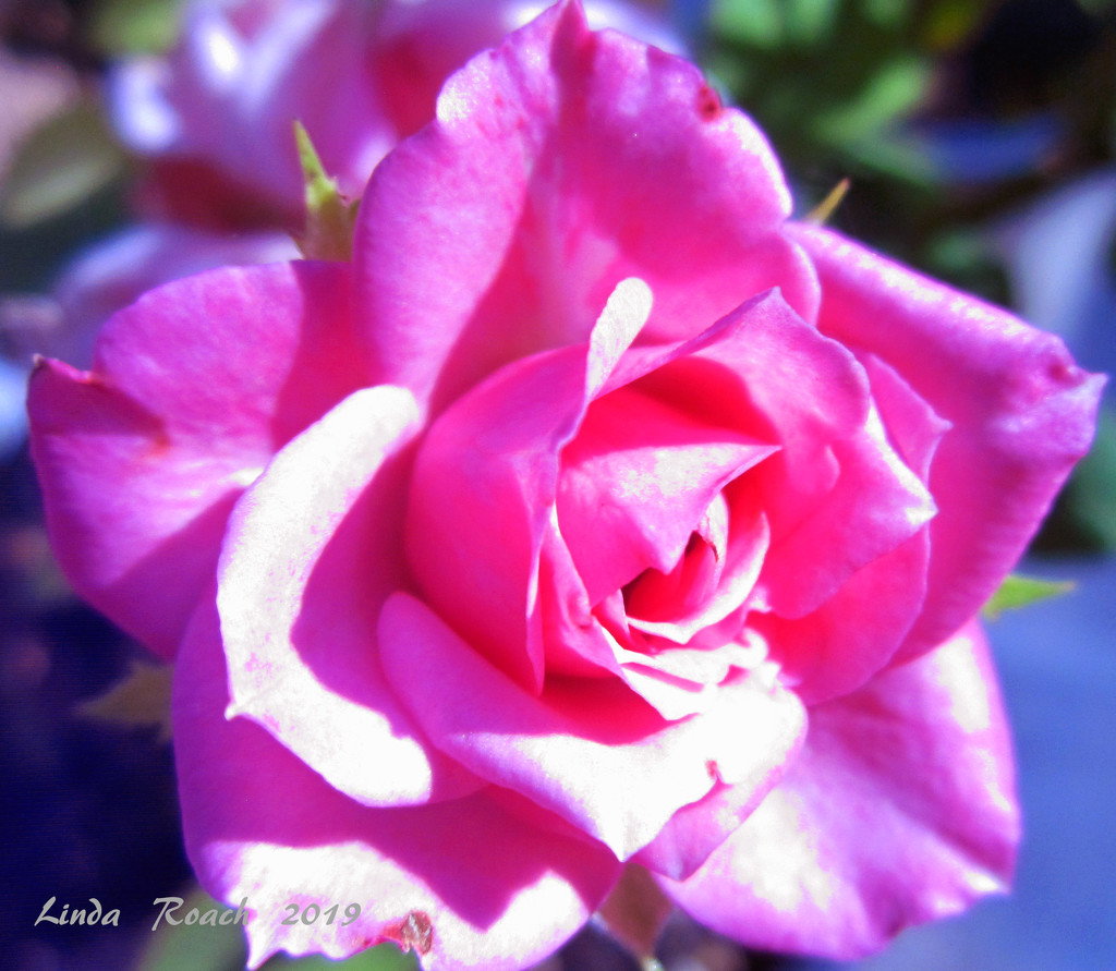Miniature Pink Rose by grannysue