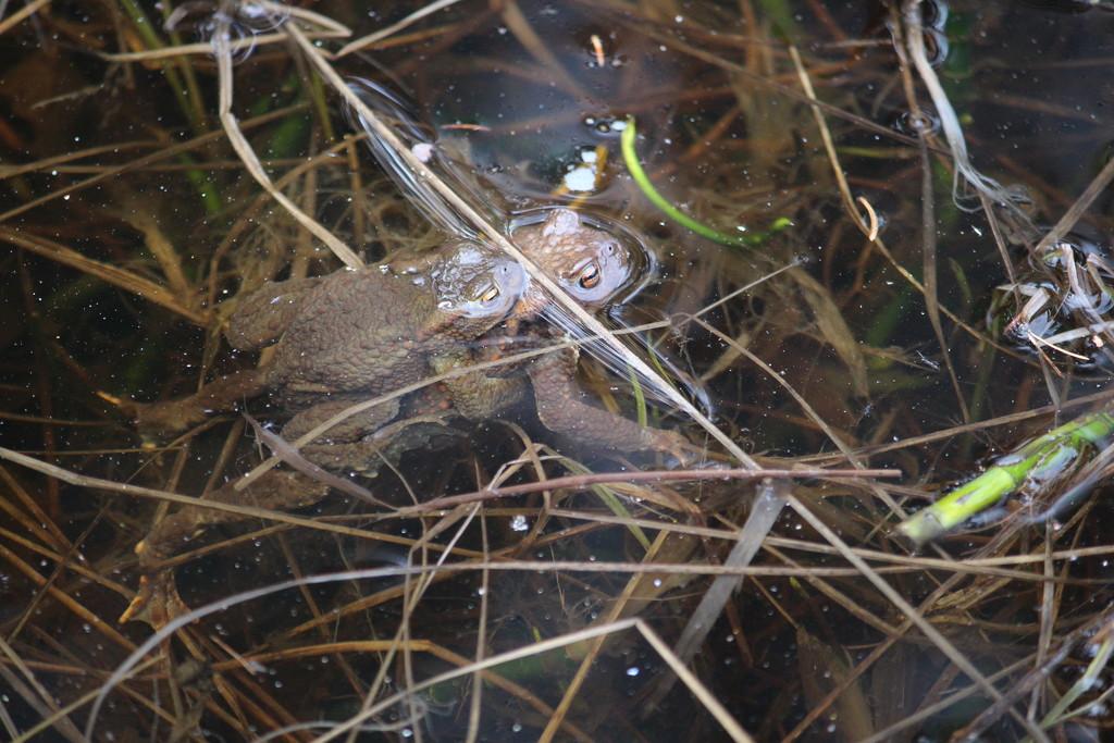European toad mating (Bufo bufo) (Rupikonna, Vanlig padda)  by annelis