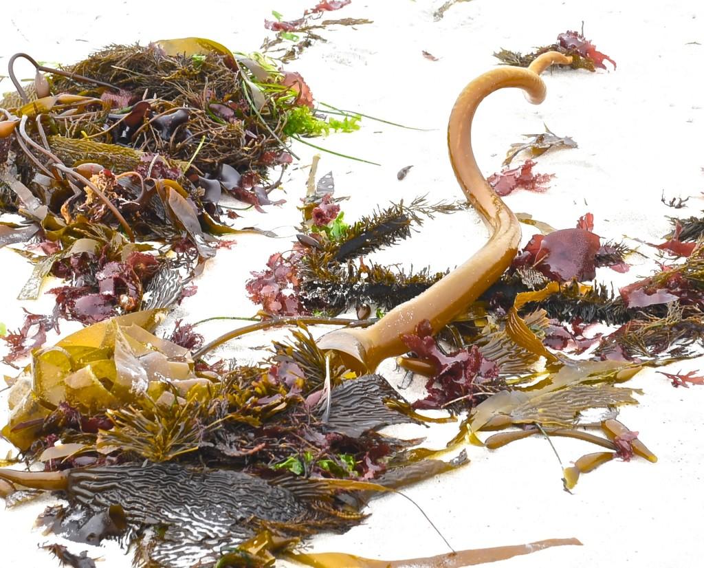 Seaweed Corkscrew by joysfocus