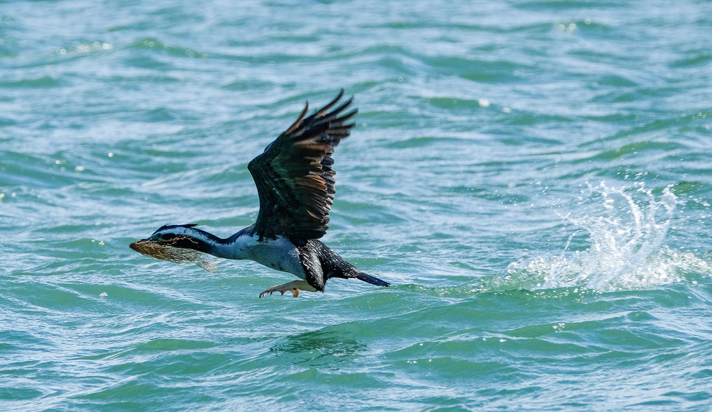 Spotted shag, (cormorant) with nesting material by maureenpp
