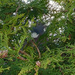 Common wood pigeon in its nest