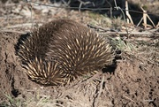 26th Aug 2019 - Wild, Burrowing Echidna