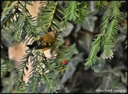 26th Aug 2019 - A lovely goldcrest