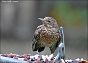 26th Aug 2019 - RK2_5343 A fit young blackbird
