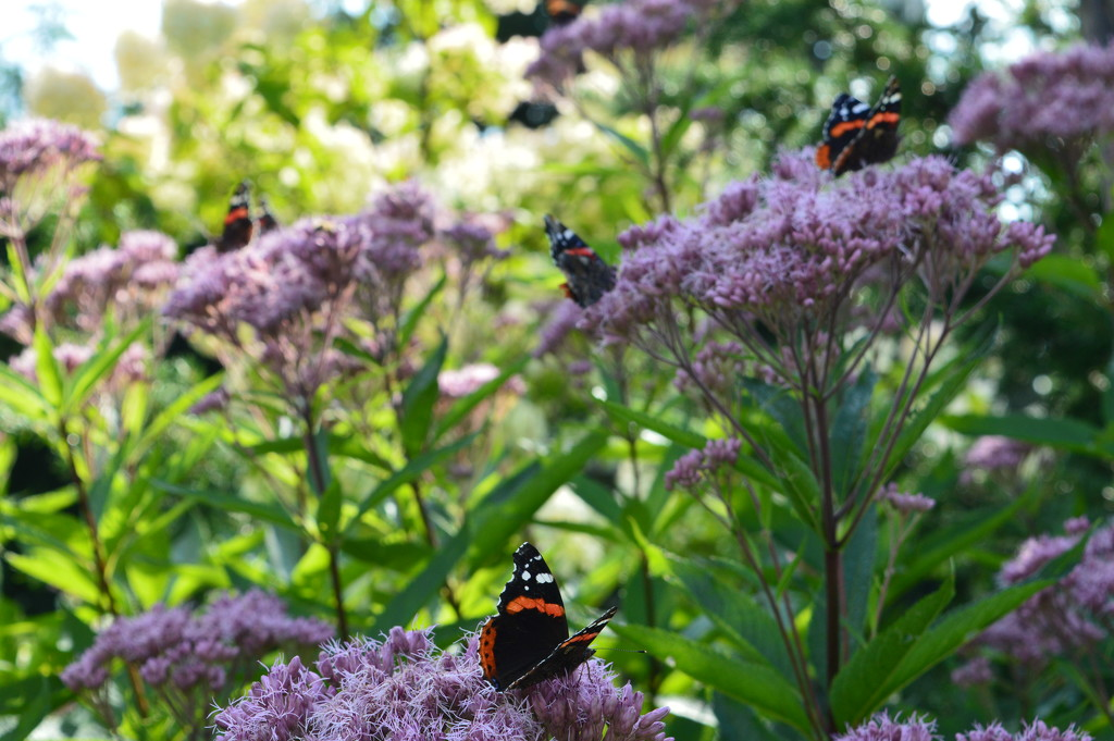 Red admirals by didi