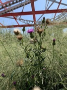 25th Aug 2019 - Thistles on the East Side