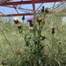 Thistles on the East Side