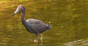 26th Aug 2019 - Little Blue Heron Looking for a Snack!