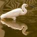 Snowy Egret Taking a Break! by rickster549