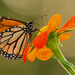 The Monarch Butterfly's Really Like this Flower! by rickster549