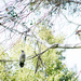 the kookaburra and the wattlebird