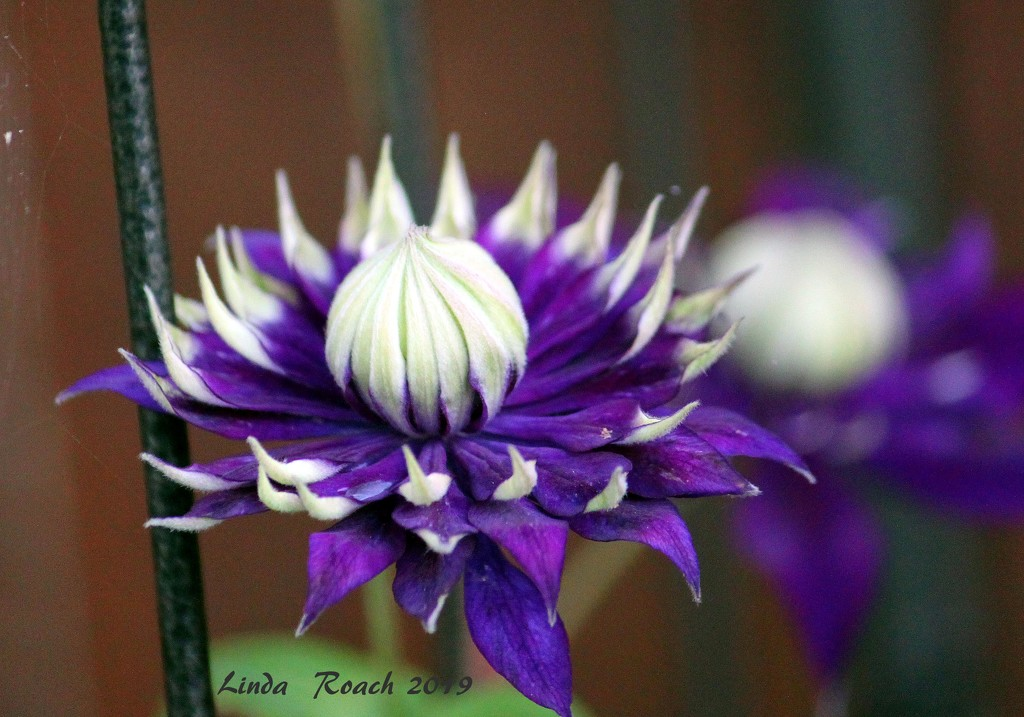 Passion Flower by grannysue