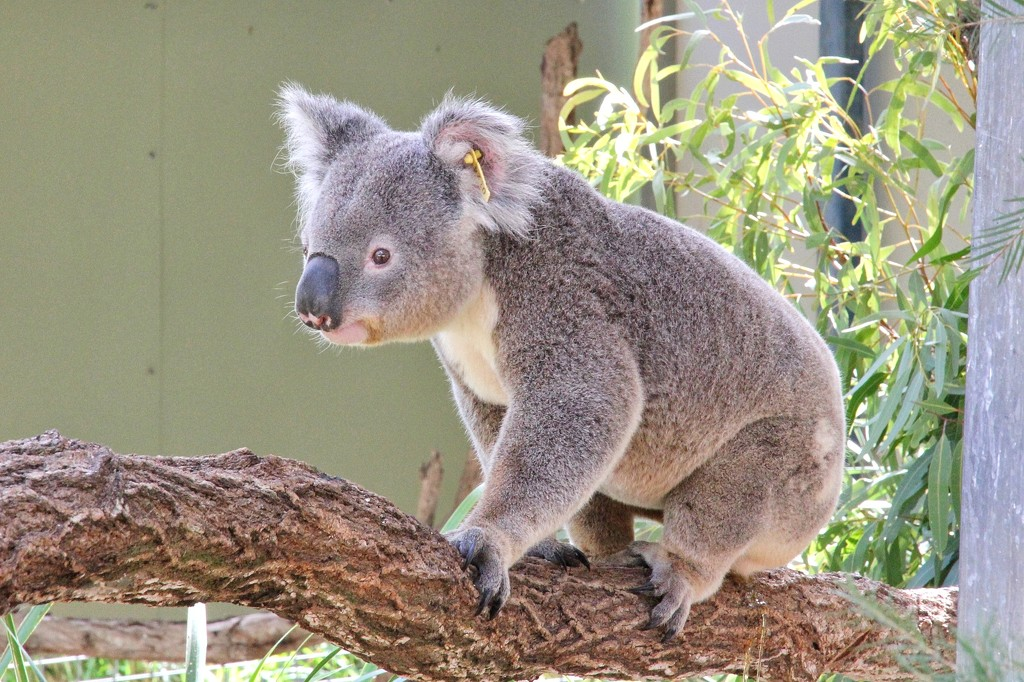 Cute Koala by leggzy
