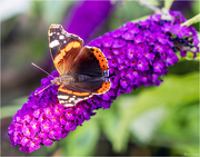26th Aug 2019 - Red Admiral