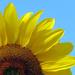 Happy Sunflower by seattlite
