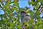 27th Aug 2019 - A male house sparrow