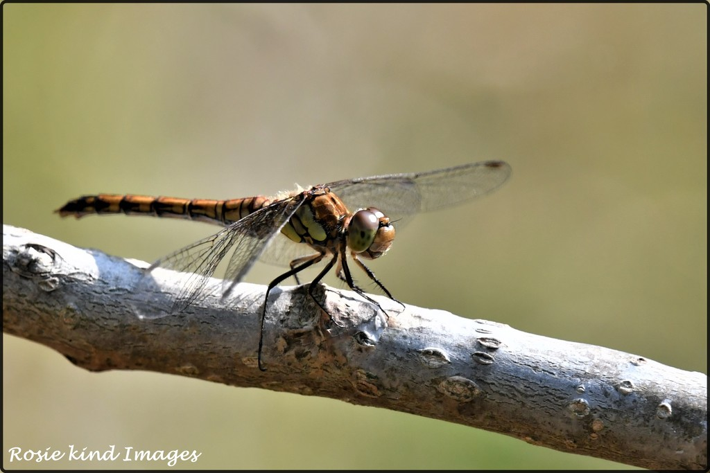 RK3_9058 A ruddy darter by rosiekind
