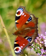 27th Aug 2019 - Peacock Butterfly