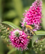 27th Aug 2019 - Bee On The Hebe