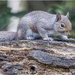 Cheeky Squirrel  by pcoulson