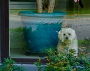 28th Aug 2019 - How Much is That Doggie In The Window?