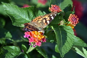 27th Aug 2019 - Painted Lady in Lantana