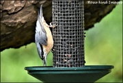28th Aug 2019 - Today's nuthatch