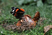 28th Aug 2019 - Red Admiral