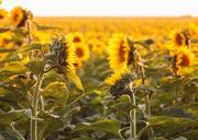 27th Aug 2019 - sunset sunflowers