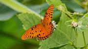 28th Aug 2019 - Gulf Fritillary Butterfly!