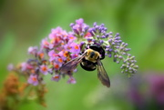 29th Aug 2019 - Busy Bee