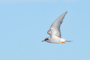 29th Aug 2019 - Black fronted tern in flight