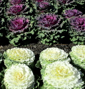 26th Aug 2019 - Cabbage flowers Roma St Gardens