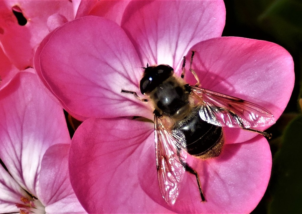 Big boy ! ( A hover fly ) by beryl